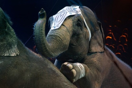 Denmark Adopts Country's Last Circus Elephants to Give Them Peaceful Retirement