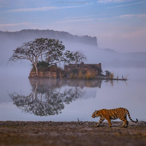 Breathtaking Photo of Bengal Tiger Taking a Stroll in Front of Ancient Ruins