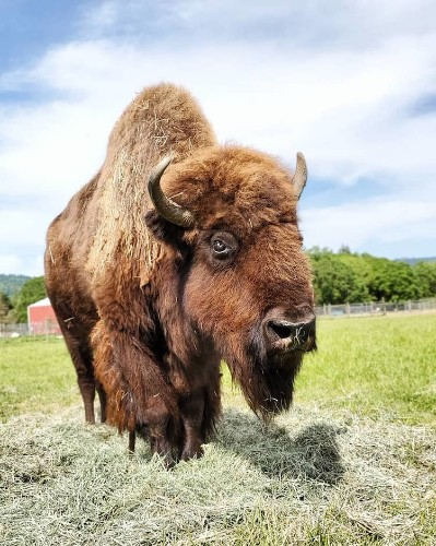 Curious Calf Offers Friendship to Lonely Blind Bison & Changes Her Life