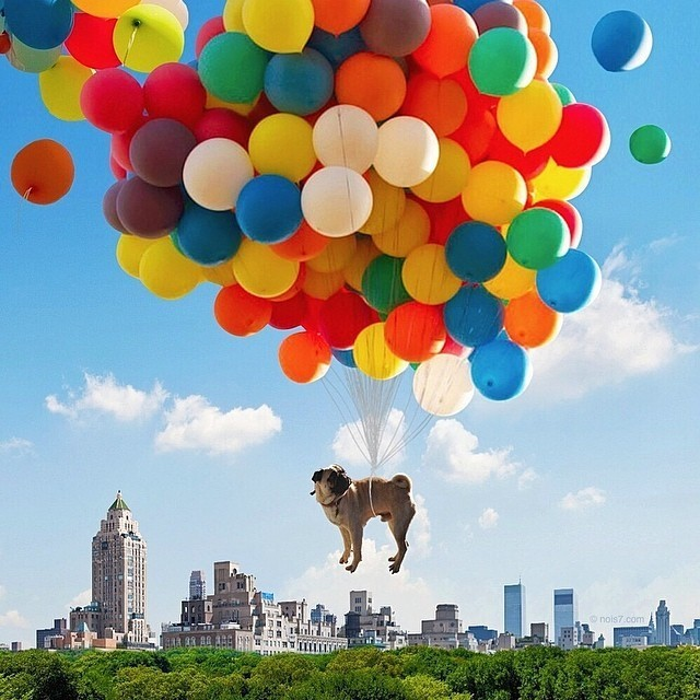 Norm the Pug Flies Up, Up and Away!