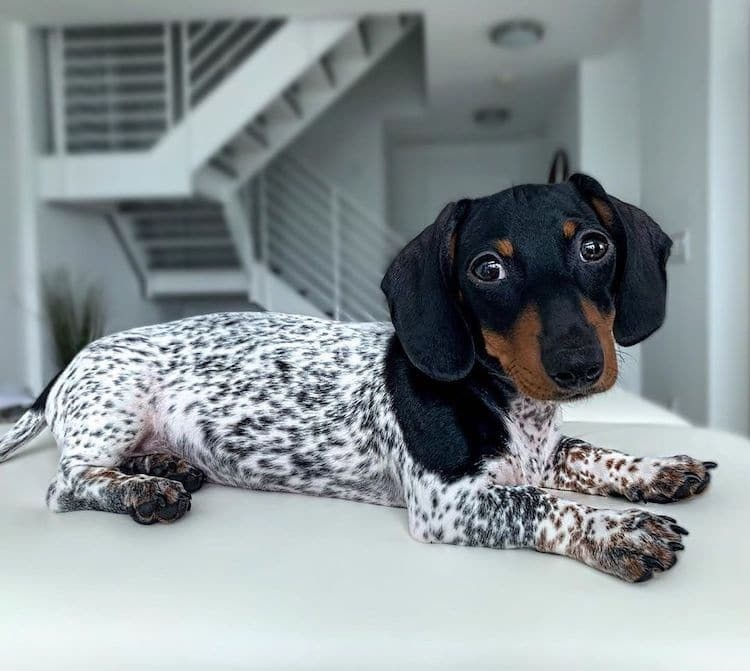 Adorable Puppy Has a Cute Dachshund Head and a Spotted Body Like a Dalmatian