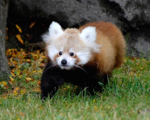 """Adorable Red Panda Named """"Tofu"""" Makes Her Public Debut at Detroit Zoo"""