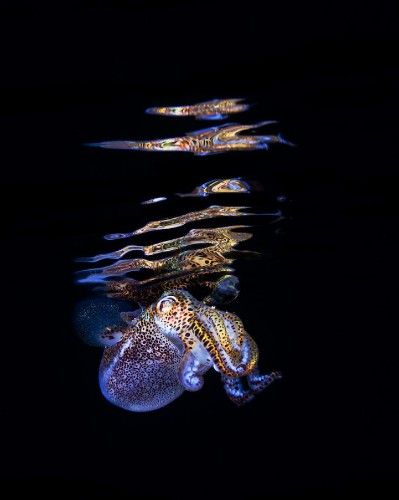 Beautiful Glowing Portraits of a Bobtail Squid
