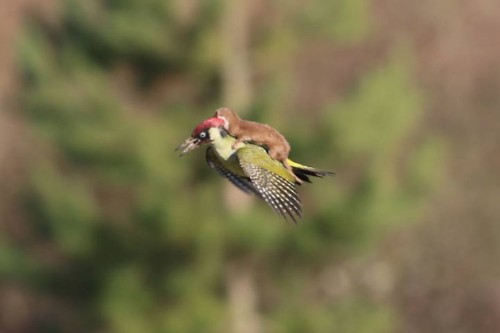 Photo of Weasel Riding on a Woodpecker Spawns Hilarious Photoshop Meme