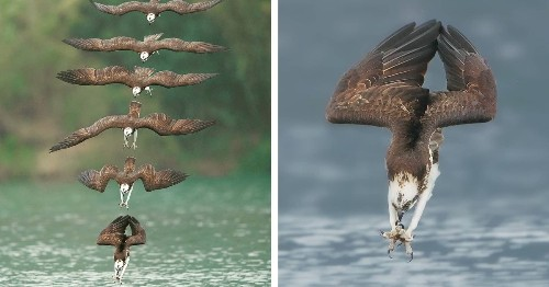 Photo of an Osprey in Mid-Hunt Captures Every Moment of Its Dive