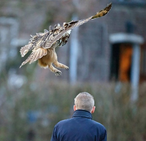 Famous Dutch Owl Loves to Land on the Head of Local Residents