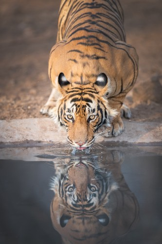 Tigers Have Fake Eyes on Their Ears as a Possible Defense Mechanism