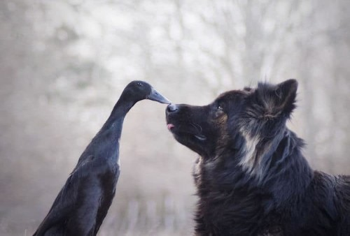 This Dog and Duck Have the Most Adorably Unexpected Friendship