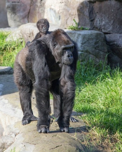 Heartwarming Photos of a New Baby Gorilla and Her Doting Grandmother