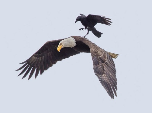 Crow Takes a Joyride on an Unsuspecting Eagle's Back