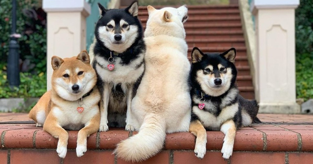 30+ Times This Funny Shiba Inu Hilariously Ruined Her Group Family Photos
