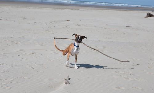Inspirational Two-Legged Dog Runs Joyously at the Beach