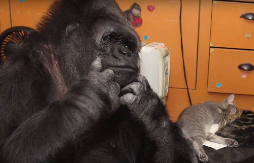 Koko the Gorilla Adopts 2 Kittens to Fill Her Heart with the Joys of Motherhood