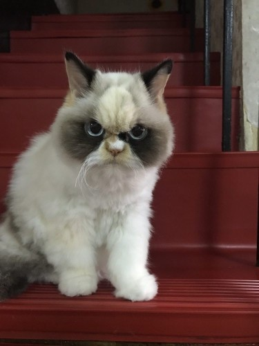 Meet Meow Meow, the Angry Internet Cat That Looks Like Grumpy Cat