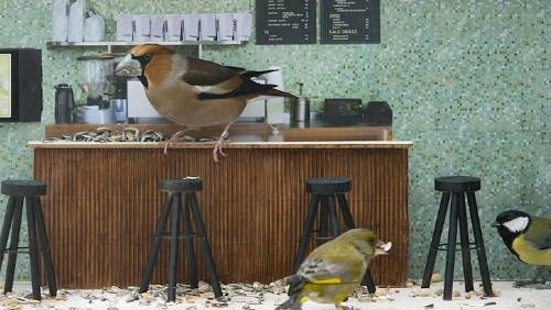 Reality Show in Bird Feeder Cafe Live Streams in Norway
