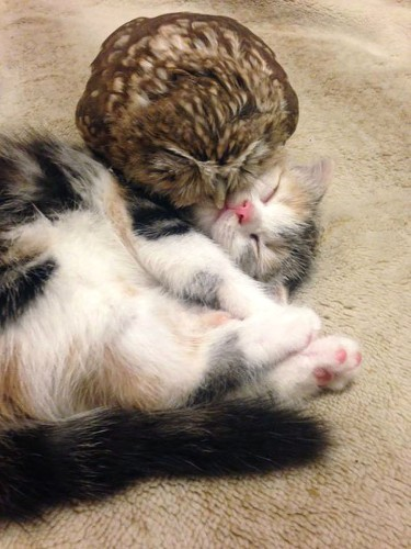 Owlet and Kitten Are Inseparable Nap Buddies at a Caf in Japan