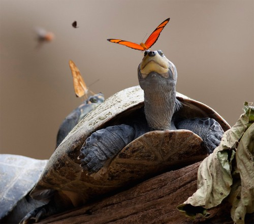 Vibrant Butterflies Drink Turtle Tears in Award-Winning Photo