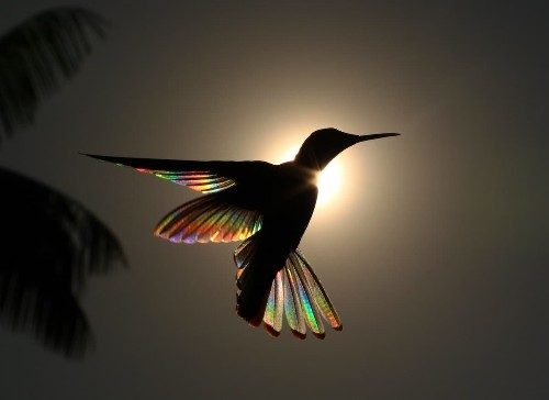 Natural Phenomenon Transforms Hummingbird's Wings into Tiny Rainbows