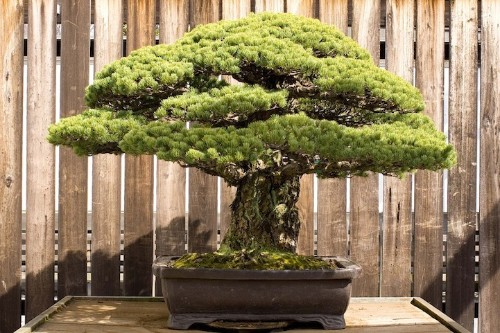 Incredible 388-Year-Old Bonsai Tree Survived Hiroshima Blast