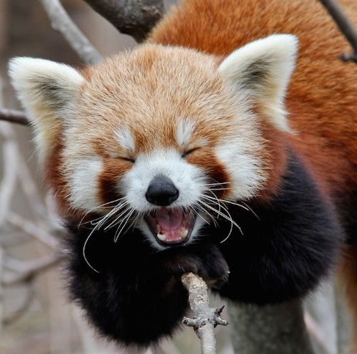 Red Pandas are the Cutest Animal on the Planet