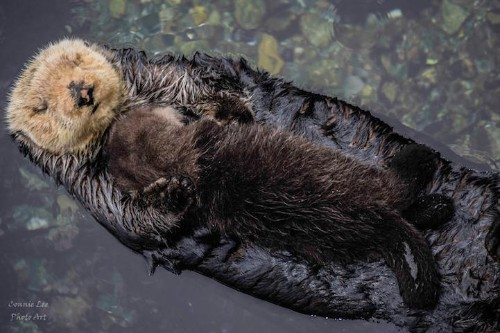 Photographer Captures Adorable Footage of 1-Day-Old Otter Pup Asleep on Floating Mom's Belly