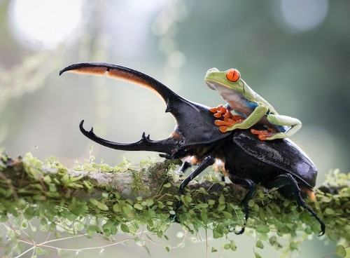 Perfectly-Timed Photo of a Tree Frog Riding a Beetle