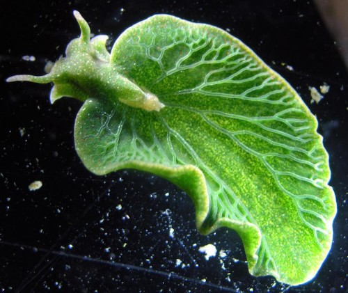 Sea Slug That Looks Like a Leaf Steals Genes to Become Animal-Plant Hybrid