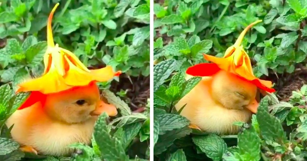 Watch This Adorable Baby Duckling Fall Asleep With a Flower on Her Head