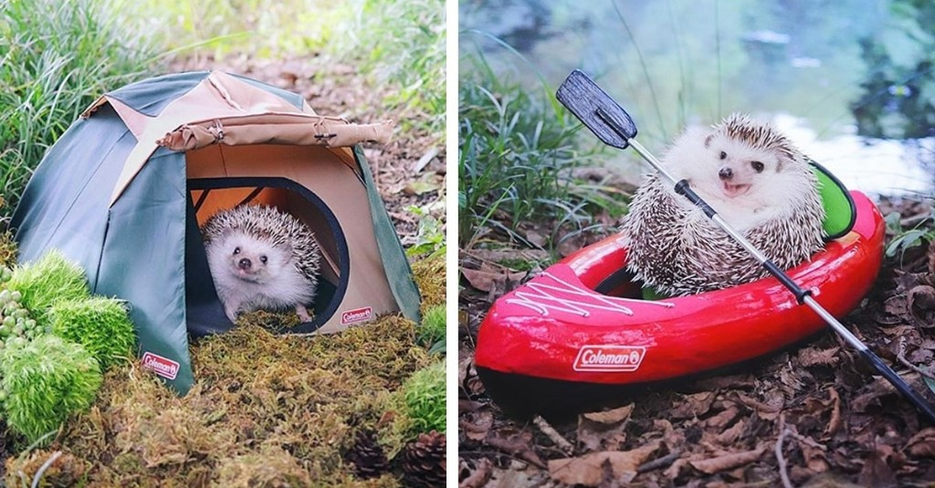 Pygmy Hedgehog Packs His Tiny Bags and Goes Camping in Adorable Photo Shoot