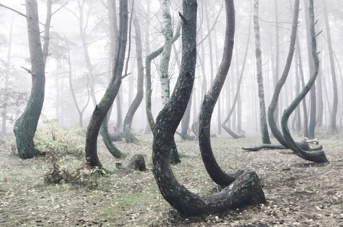 """Poland's Mysterious """"Crooked Forest"""" Populated with 400 Bent Pine Trees"""