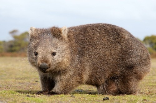 Viral Posts Claim Wombats Are Saving Other Animals During Bushfires