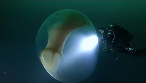Divers Encounter Mysterious Giant Egg Sac Full of Baby Squid