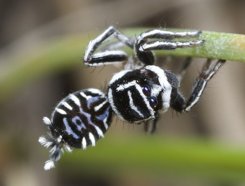 Two New Species of Peacock Spiders Discovered with Amazingly Striking Patterns
