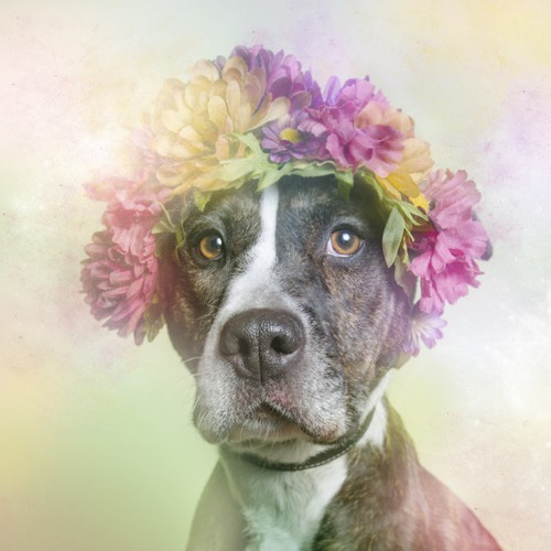 Colorfully Dreamy Portraits Show Pit Bulls in a Softer Light