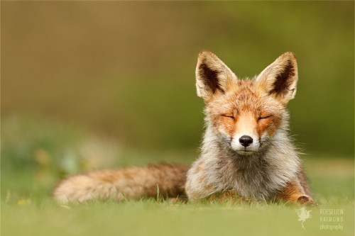Interview: Adorable Foxes Captured in Zen-Like State of Bliss