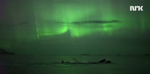 Photographer Accidentally Captures Footage of Whales Swimming Under Northern Lights