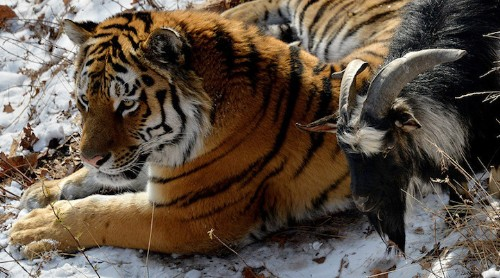 Tiger Becomes Friends with Live Goat Who's Given to Him as Food