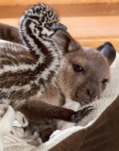 Baby Kangaroo Welcomes Rescued Emu Chicks with Adorable Snuggling