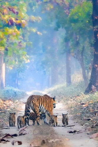Heartwarming Photo of Tigress With Her Five Cubs Is a Victory for Animal Conservationists