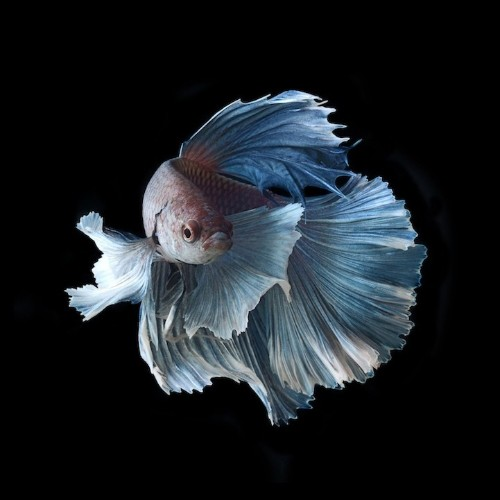 New in the Shop: Elegant Portraits of Siamese Fighting Fish