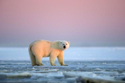 Massive Polar Bears Enjoy a Magnificent Glowing Sunset