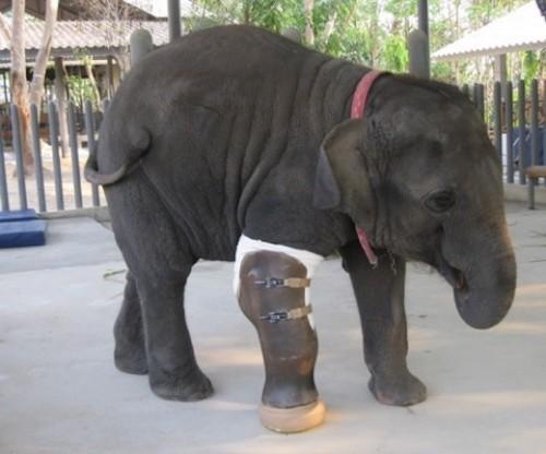 Animal-Loving Surgeon Creates Giant Prosthetic Leg for Elephant Wounded by Land Mines