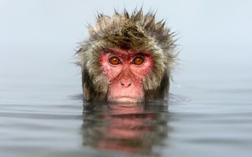 Captivating Moments of Snow Monkeys Bathing in Hot Springs