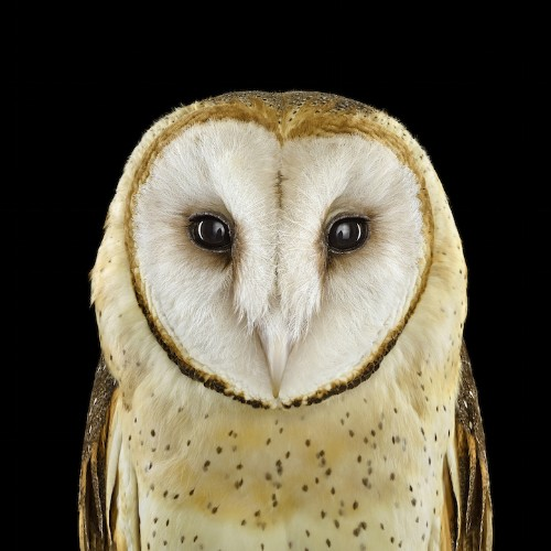 Stunning Portraits of Owls Captured in Up-Close Detail