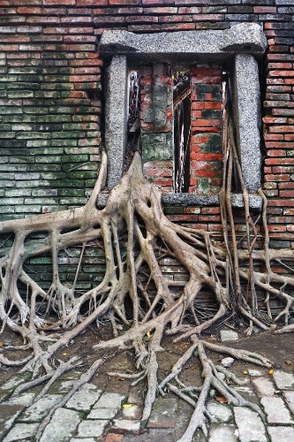 Abandoned Warehouse Reclaimed by the Sprawling Roots and Branches of a Banyan Tree