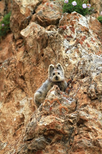 "Adorable Teddy Bear-like ""Magic Rabbit"" Spotted for the First Time in Two Decades"