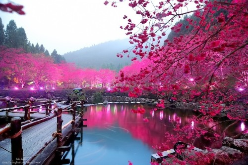Taiwan's Dazzling Cherry Blossom Trees Light Up at Night