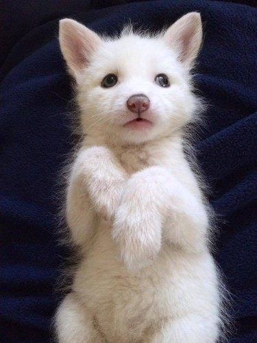 Adorable 5-Month-Old Domesticated Fox Helps Raise Awareness for Her Species