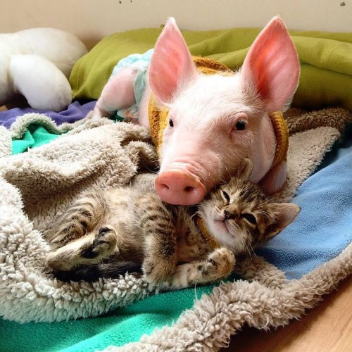 Rescue Piglet Forms an Inseparable Bond with Orphan Tabby Kitten