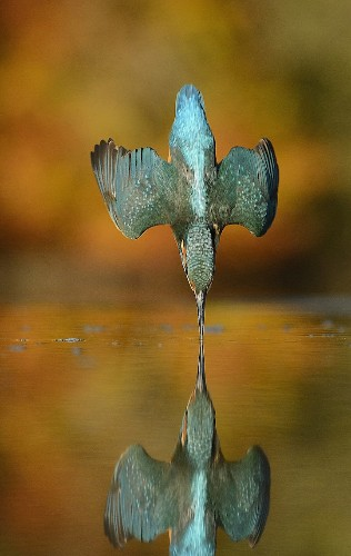 Photographer Captures Perfectly Symmetrical Kingfisher Dive After 6 Years and 720,000 Pictures